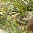 Western Diamondback Rattlesnake Resting - 