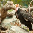 The Endangered California Condor - Stock Photo