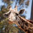 Close-up of a Majestic Giraffe Head - Stok fotoğraf