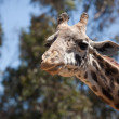 Close-up of a Majestic Giraffe Head — Stock Photo