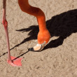 Royalty-Free Stock Photo: Beautiful Flamingo with His Shadow