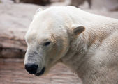 Beautiful Majestic White Polar Bear Profile — Stock Photo