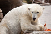 Beautiful White Polar Bear Eating — Stock Photo