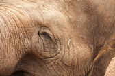 Majestic Endangered Elephant Closeup — Stock Photo