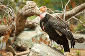 The Endangered California Condor — Stock Photo