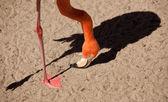 Beautiful Flamingo with His Shadow — Stock Photo