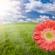 Royalty-Free Stock Photo: Pink Gerber Daisy Over Grass Field