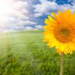 Sunflower, Arched Horizon Grass Field - Stock Photo