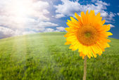 Sunflower, Arched Horizon Grass Field — Stock Photo