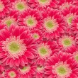 Bright Pink Gerber Daisies with Water Drops Background Pattern. — Stock Photo