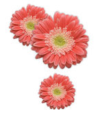 Pink Gerber Daisy Corner Design Element Isolated on a White Background. — Stock Photo