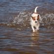 Playful Jack Russell Terrier Dog Playing in Water — Stock Photo #3716398