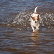 Playful Jack Russell Terrier Dog Playing in Water — Stock Photo