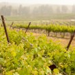 Beautiful Lush Grape Vineyard in The Morning Sun and Mist - Stock Photo