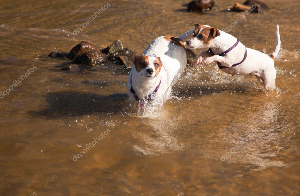 Playful Jack Russell Terrier Dog Playing in the Water. — Stock Photo #3716388