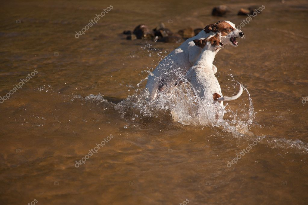 Two Playful Jack Russell Terrier Dogs Playing in the Water. — Stock Photo #3716391