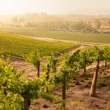 Beautiful Lush Grape Vineyard in The Morning Sun and Mist — Stock Photo