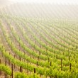 Beautiful Lush Grape Vineyard in The Morning Sun and Mist — Stock Photo #3732476