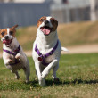Energetic Jack Russell Terrier Dogs Running on Grass — Stock Photo #3737803