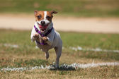 Energetic Jack Russell Terrier Dog Runs on the Grass — Stock Photo