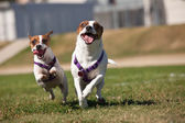 Energetic Jack Russell Terrier Dogs Running on the Grass — Stock Photo