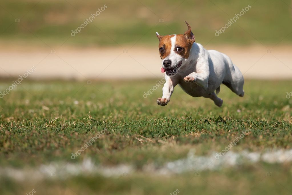 Energetic Jack Russell Terrier Dog Runs on the Grass Field.   #3737806