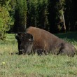 Lying resting buffalo (bison) on ground - Stock Photo