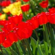 Stock Photo: Red and yellow tulips patch
