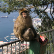 Stock Photo: Barbary apes in Gibraltar