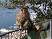 Barbary apes in Gibraltar — Stock Photo