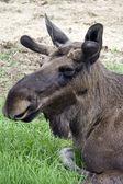 Closeup of a moose head — Stock Photo