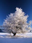большой замороженных дерево в солнце — Стоковое фото