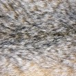 Background of lynx fur — Stock Photo