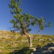Lonely tree — Stockfoto #3367091