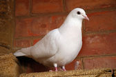 White dove — Stock Photo