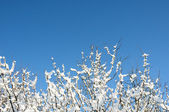 Wintry branches — Stock Photo