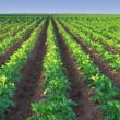 Potato Farm — Stockfoto