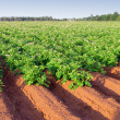 Stock Photo: Potato Farm