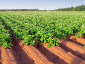 Potato Farm — Stock Photo