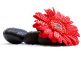 Gerber daisy and pebbles — Stock Photo