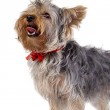 Yorkshire Terrier panting — Stock Photo
