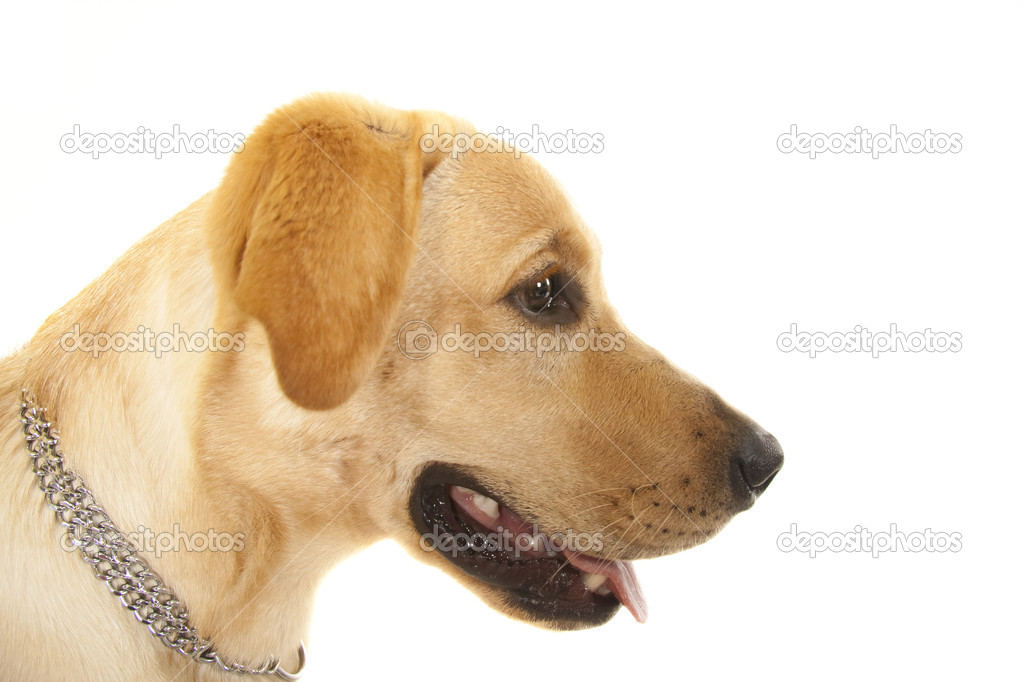 Golden Retriever Portrait - Isolated over white back ground  — Stock Photo #3455981