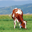 Brown cow grazing - Stock Photo