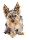 Nyfiken yorkshire terrier — Stockfoto