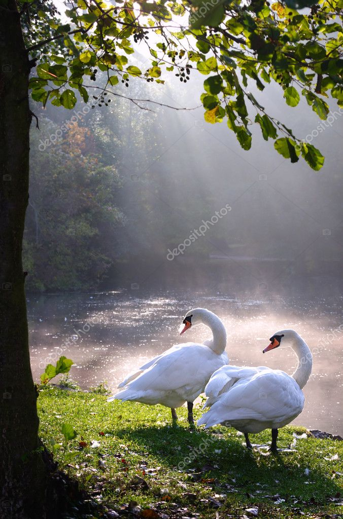 Two swans in beautiful landscape lake and sunbeam  — Stock Photo #2715303