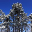 Snowy forest with blue sky — Stock fotografie #2732945