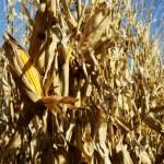 Corn in the Field 4 — Stock Photo #2726292
