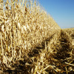 Corn in the Field 3 — Stock Photo #2726364