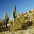 Stock Photo: Saguaro Cactus 2