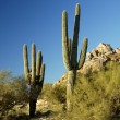 Stock Photo: Saguaro Cactus 3